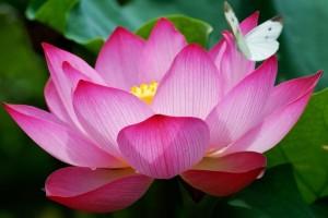 lotus_hi_res
