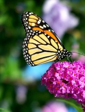 Monarch_Butterfly_Flower