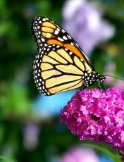 Monarch_Butterfly_Flower