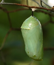 Monarch_Chrysalis