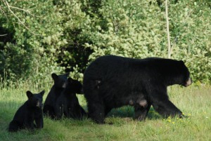 Mother Bear & Cubs